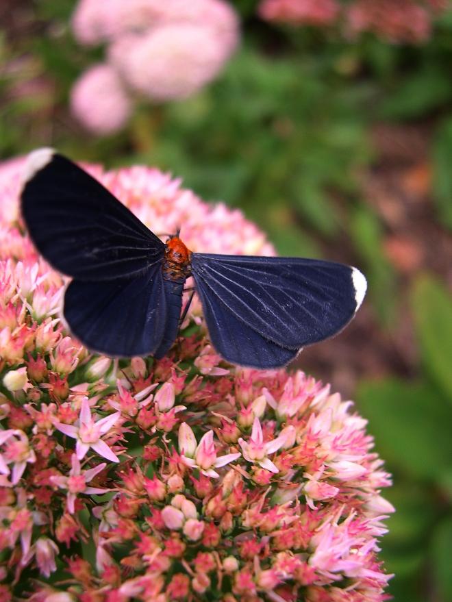 White-tipped Black (Melanchroia chephise)