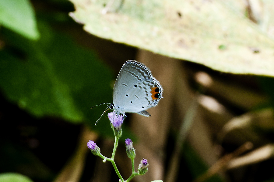 Indian Cupid (Everes lacturnus lacturnus)   my butterfly collection