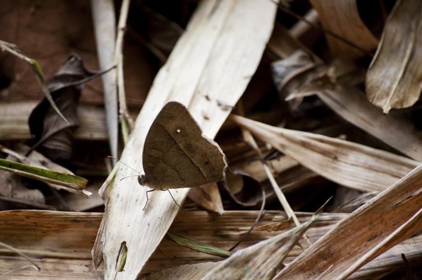 Chinese Bushbrown (Mycalesis gotama charaka) 1