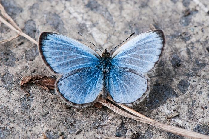 Himalayan Pale Grass Blue (Pseudozizeeria maha maha)