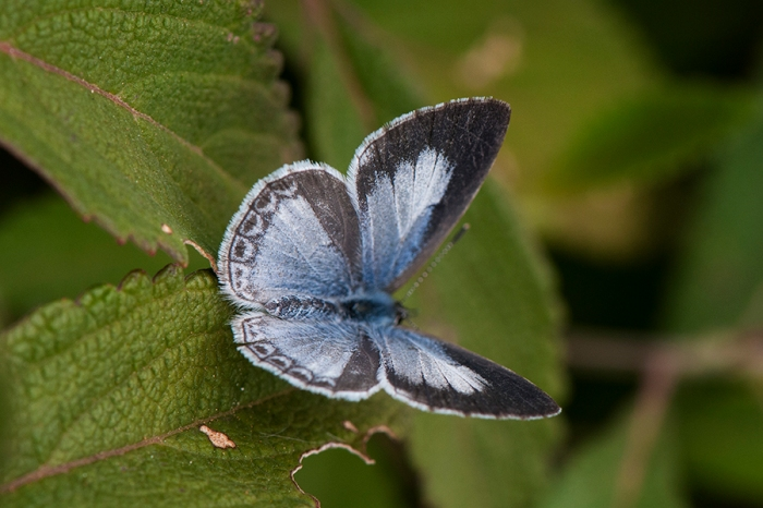 Plain Hedge Blue (Calestrina lavendularis)