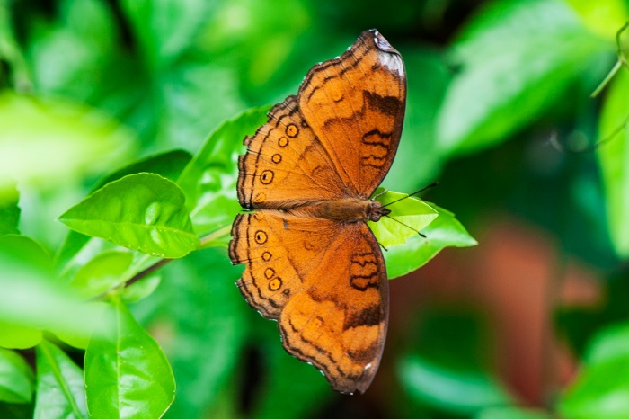 Brown Soldier (Junonia hedonia ida)