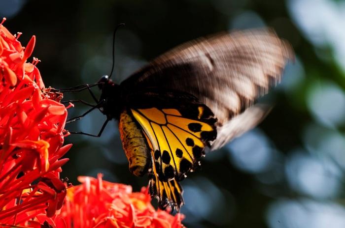 Common Birdwing (Troides helena maurus)