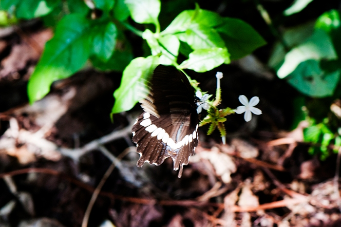 Common Mormon (Papilio polytes javanus)