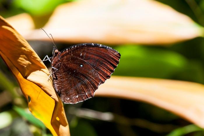 Common Palmfly (Elymnias hypermenestra fraterna)
