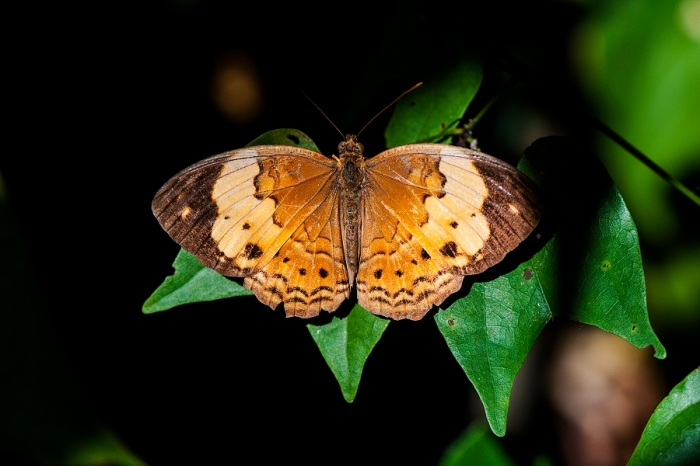 Rustic (Cupha erymanthis lotis)