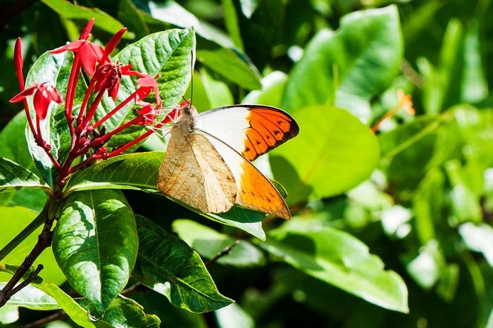 Great Orangetip (Hebomoia glaucippe javanensis)