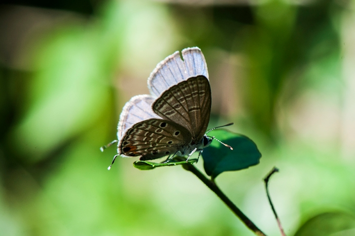 Cyad Blue or Plains Cupid (Chilades pandava pandava) s