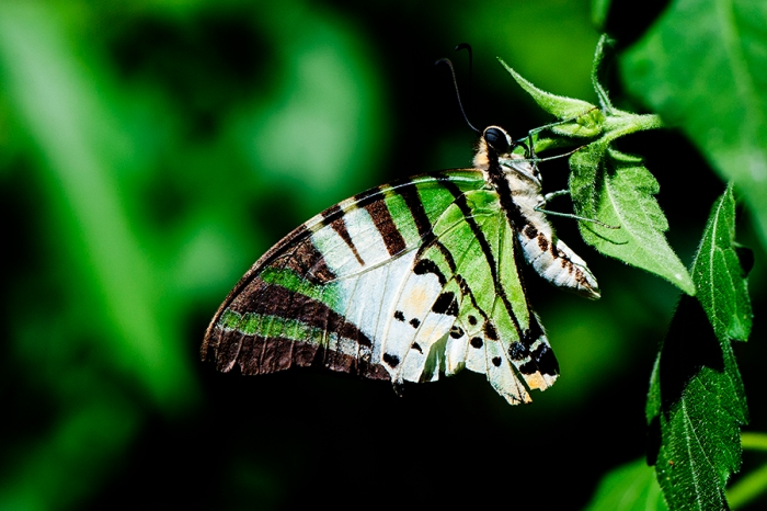 Fivebar Swordtail  (Pathysa antiphates itamputi) or Graphium antiphates itamputi)