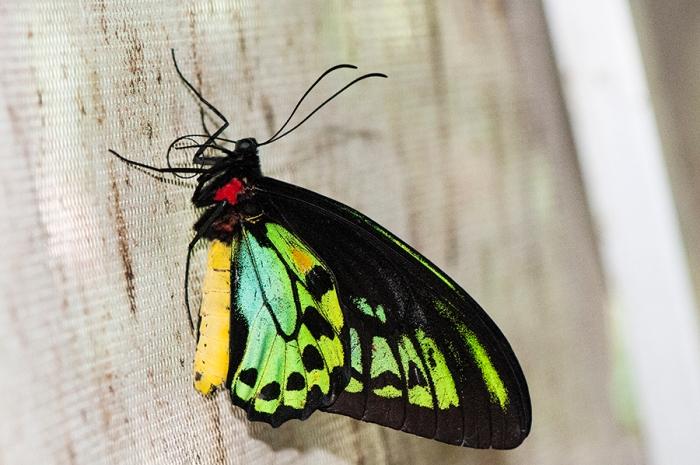 Paradise Birdwing (Ornithoptera paradisea)